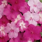 Juin 2009 reims toute l 39 information r moise et champenoise - Impatiens de guinee l hiver ...