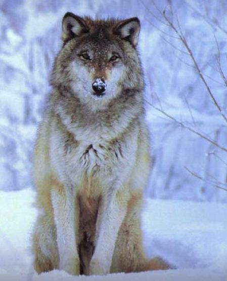 le centieme loup du tavaillonneur - Reims : Toute l